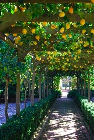 Lemon Arbor at Lotusland in Montecito, California. Photo by Janel Holiday. WOW WOW WOW this reminds me of an arbor I saw in the Lake Como area with oranges- can you imagine?