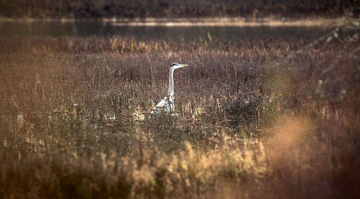 #heron at #goldstreampark