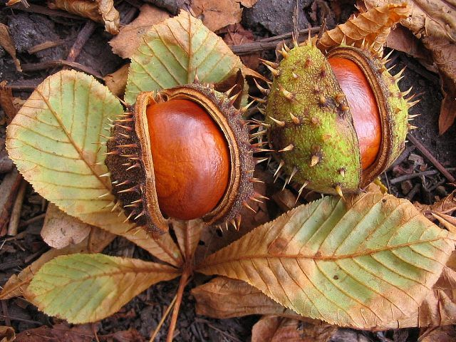 Horse Chestnuts. In England, put them in the corners inside your house to keep the Autumn spiders out!