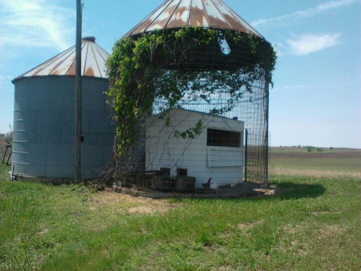 Nice Chicken Coop Inside Old Corn Crib Covered In Wild Grapevine For My Chickens. Nice Look