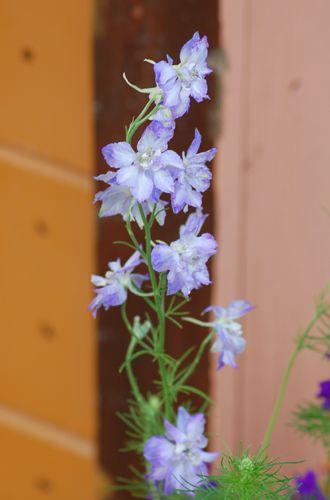 Pictures of Lavender Flowers: Picture of Lavender Delphinium Flowers