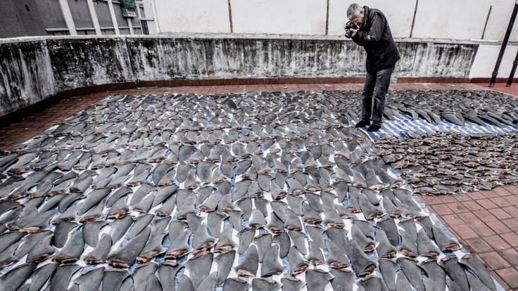 Psihoyos documents shark fins drying on a rooftop in Hong Kong.