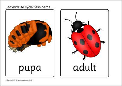 Ladybirdladybug life cycle flash cards  SB9617   SparkleBox   Free Resources For Other