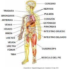 Resultado de imagen para todos los organos del cuerpo humano en español