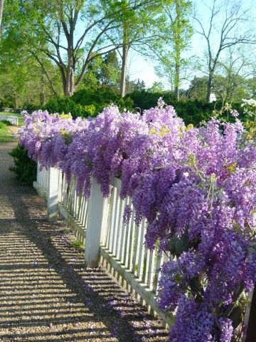 """A spectacular moment for the Wisteria""   #ColonialWilliamsburg #wisteria #fence #garden #flowerPrivacy Fence, White Fence, Wisteria, Colonial Williamsburg, Front Yards, Gardens, Front Fence, White Picket Fence, Purple Flower"
