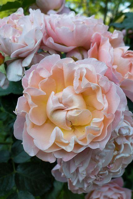 ~Rose Marie Curie (Meilland, 1996), Jardin des plantes, Grenoble (Isère, France)