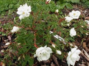 Rosa 'Kakwa'. Skuggtålig, 90-120 cm, tolerant mot dålig jord och skugga