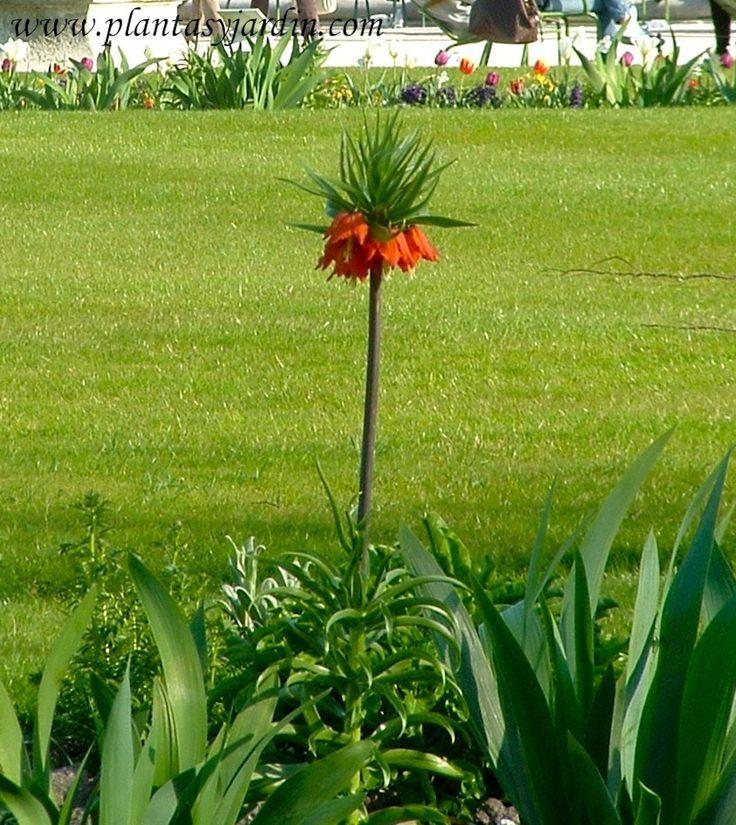 Fritillaria imperialis en el jardin de tuileries bulbos - Bulbos de otono ...