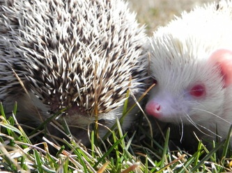 Hedgehogs (the one on the right is a female albino)