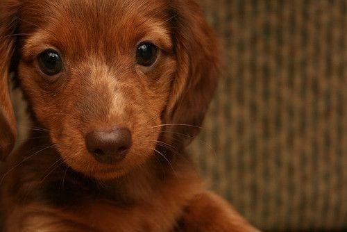 sooooo audorable thats my moms dream dog but mine is a husky: Sweet, Puppys Dogs Eye, Dachshund, Chocolates Brown, Feet, Little Puppys, Photo, Animal, Caramel