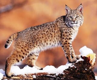 Ideas and Travelling: Lynx: description, location and interesting facts