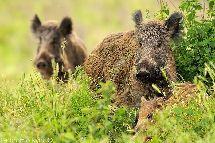 cignale wild boar