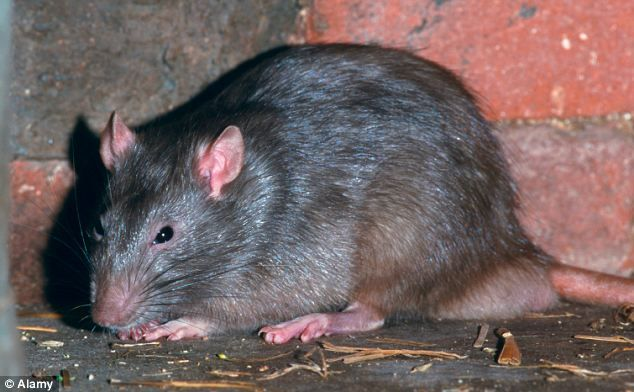 Poison-resistant mutant rats on the rise in Britain 'due to cuts in council pest…