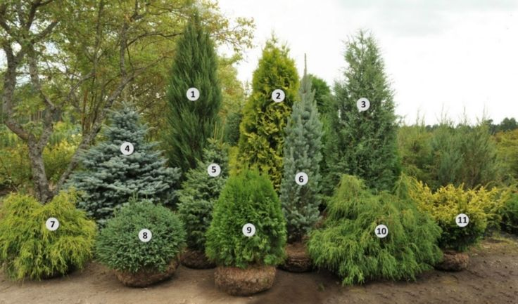1. Juniperus scopulorum 'Blue Arrow' - starting price was 80Ls 2. Thuja occidentalis 'Aurea' - starting price was 80Ls 3. Juniperus virginia...