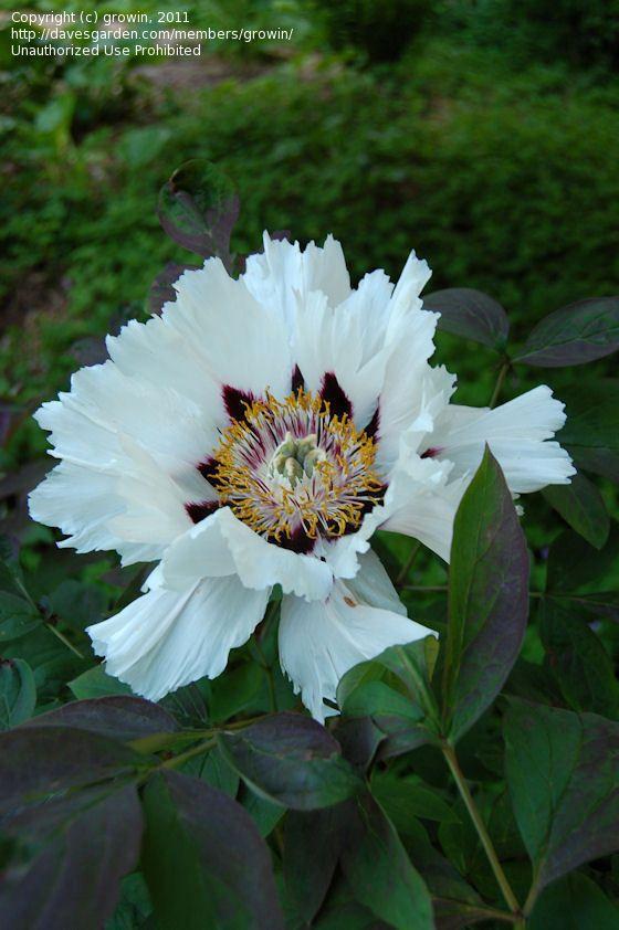 Got it!!!! Paeonia rockii, species Tree Peony