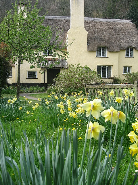 Selworthy cottage, Somerset in the Spring with pretty daffodils!