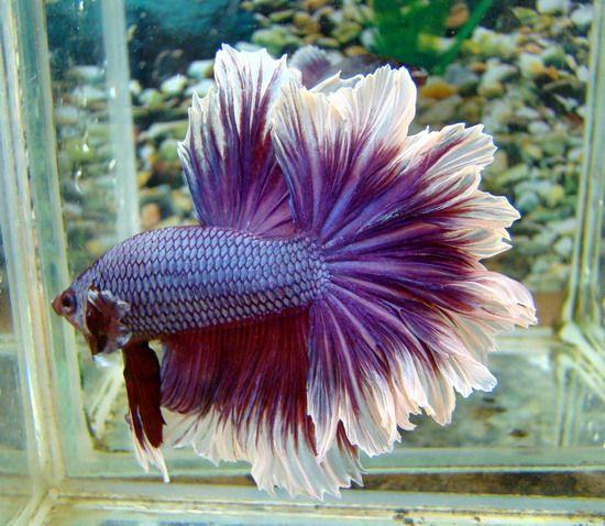 How Much Are Betta Fish | 27 Best Beta Fish Images On Pinterest Aquarium Ideas Fish