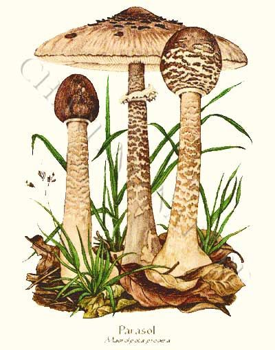 Parasol mushroom art print 5x7 Print Tons of Nature Prints on this site!