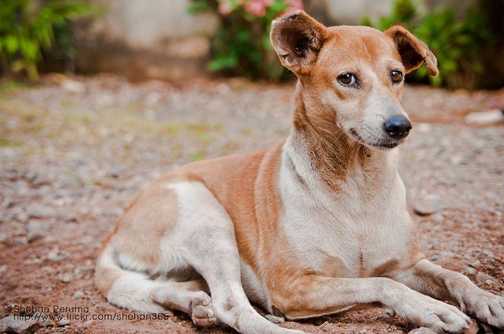 O Vira-lata é o cão mais encontrado nos lares brasileiros. São dóceis, felizes e muito resistentes, praticamente livres de doenças genéticas hereditárias.