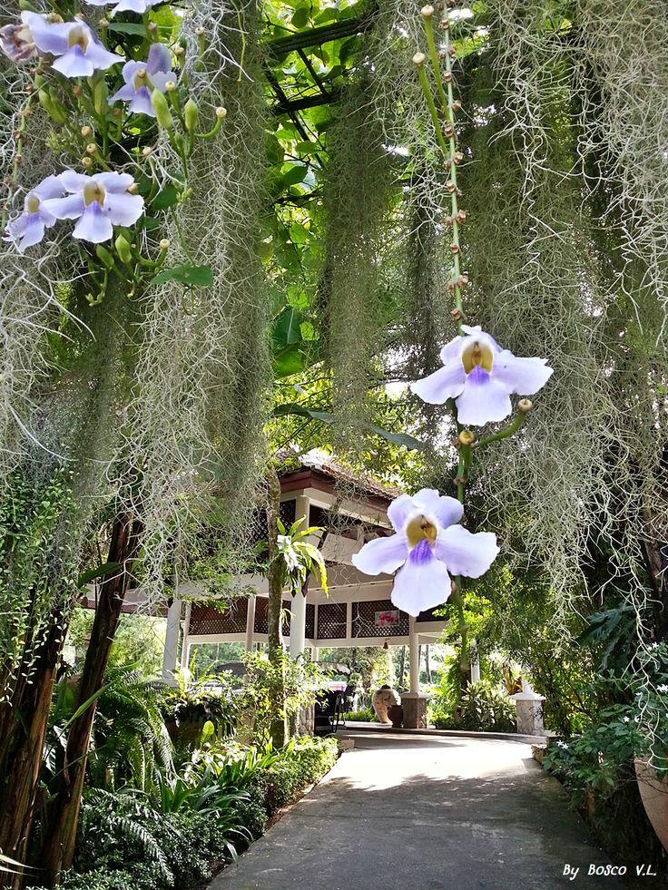 photos in the board were took from Thavorn Beach Village & Spa, Phuket, Thailand #kalim #kamala #patong #phuket #thailand #holiday #vacation #thavornbeachvillageandspa #flower