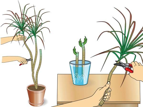 Drachenbaum vermehren Dracaena