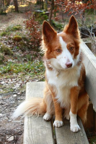 Welsh Border Collie
