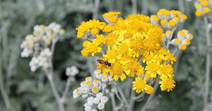 Artemisa o hierba de San Juan, la MADRE de todas las hierbas medicinales