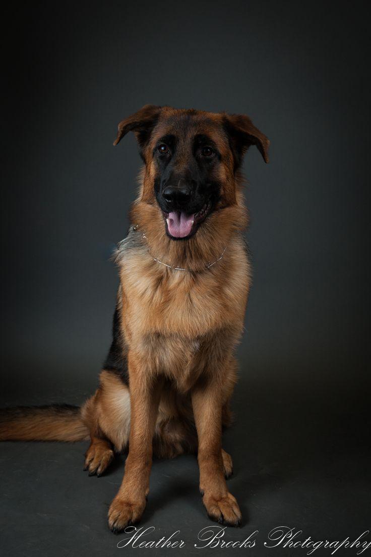 #essexontario #petvalu #petphotography #dog #dogphotography #essexphotographer #windsorfamilyphotographer #dogportrait#germanshephard