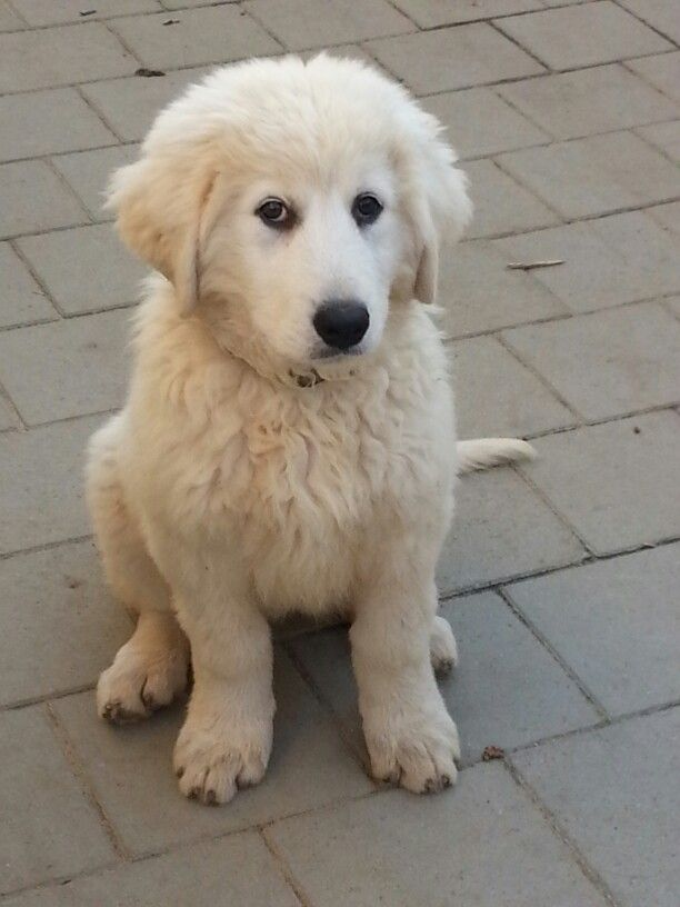 stryder black lab maremma sheepdog mix my favorite 8 best maremma sheepdog images on pinterest maremma
