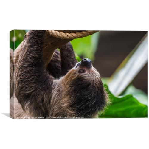I have a new piece of art for sale on Photo4me.com please share and like. #Linnaeustwotoedsloth #sloth #twotoedsloth #animal #cute #upsidedown #inverted #wildlife