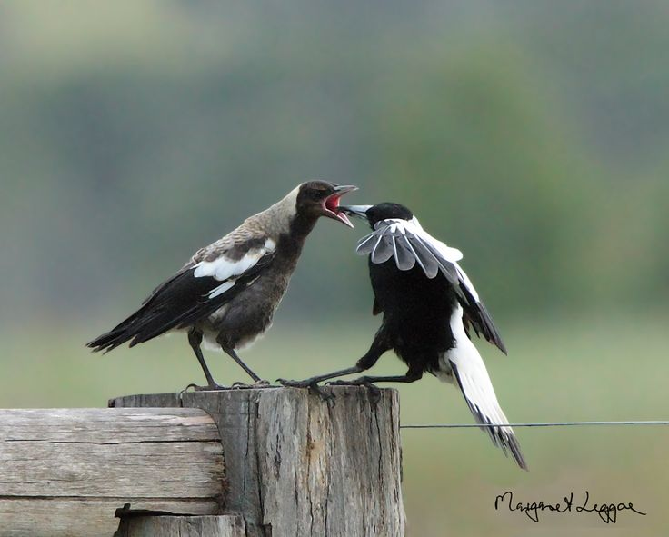17 best images about australian magpies on pinterest