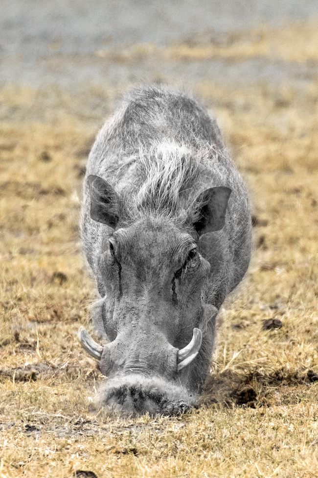 """""""Rooting"""" by Steve Grodin: Warthog looking for dinner in the Serengeti."""