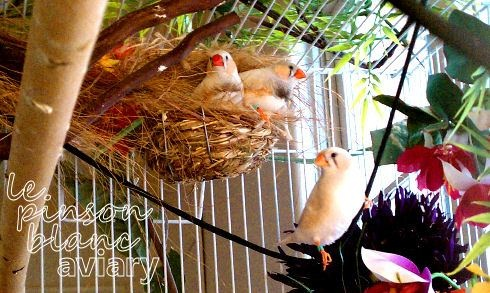 Chestnut-Flanked White Zebra Finches for sale via lebeaupinson.wordpress.com