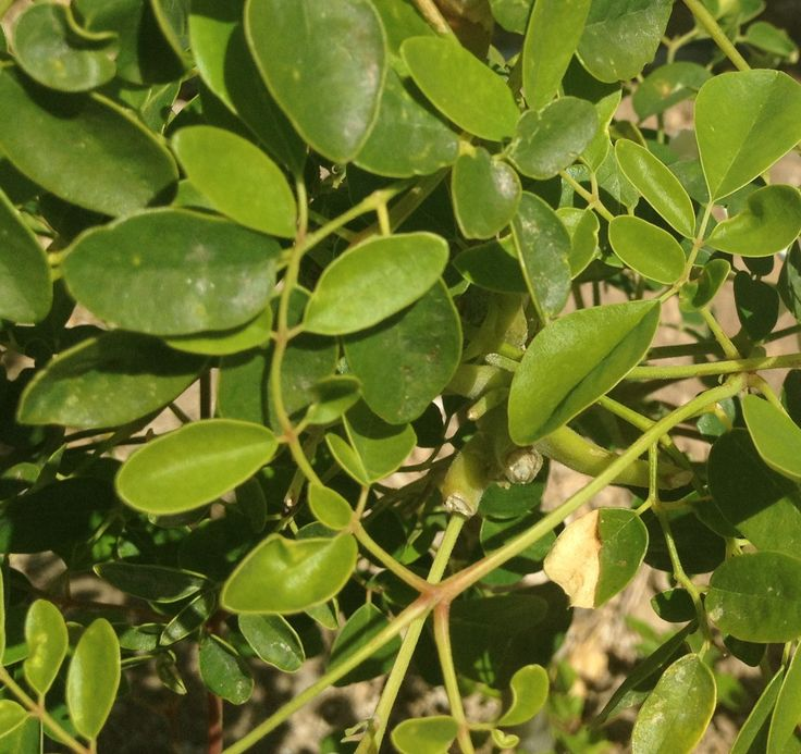 Moringa oleifera_listy_detail