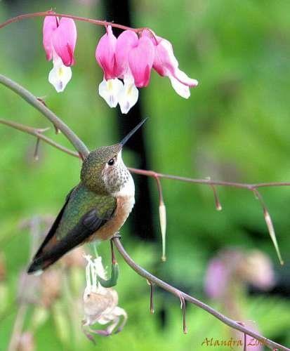 "~ Rufous Hummingbird ~ resting on the stem of a Bleeding Heart Flower Blossom"" ~♥"