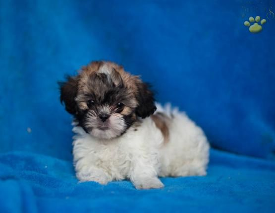 Marble - Shichon Puppy for Sale in Newburg, PA | Lancaster Puppies