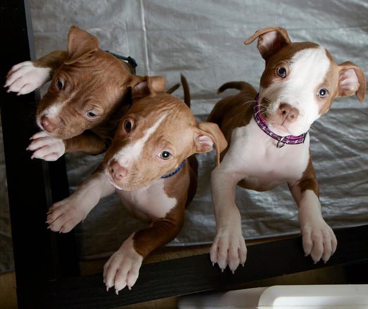 The M Trio pups. #pitbull #dogparkpublishing www.dogparkpublishing.com www.facebook.com/ittypitties