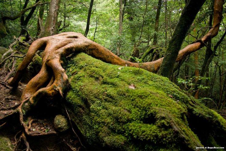 Impenetrable forests of Yakushima island