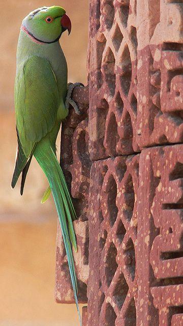 Ring-necked Parakeet (Psittacula krameri). Qutub Minar, Delhi, India.