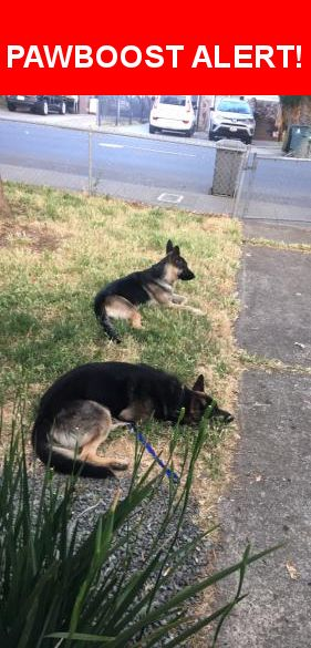 Is this your lost pet? Found in Vallejo, CA 94591. Please spread the word so we can find the owner!  Male & Female German Shepherd's  Near Laurel St & el Monte Ave