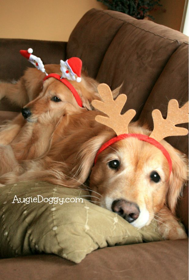 Getting In The Christmas Spirit Dogs Golden Retriever