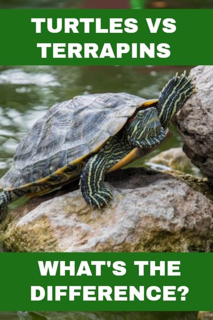 turtles-vs-terrapins