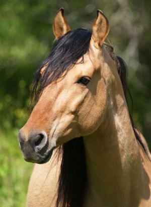 Return to Freedom Wild Horse Sanctuary — Spirit, one of the beautiful Kiger stallions from the high desert of southeastern Oregon