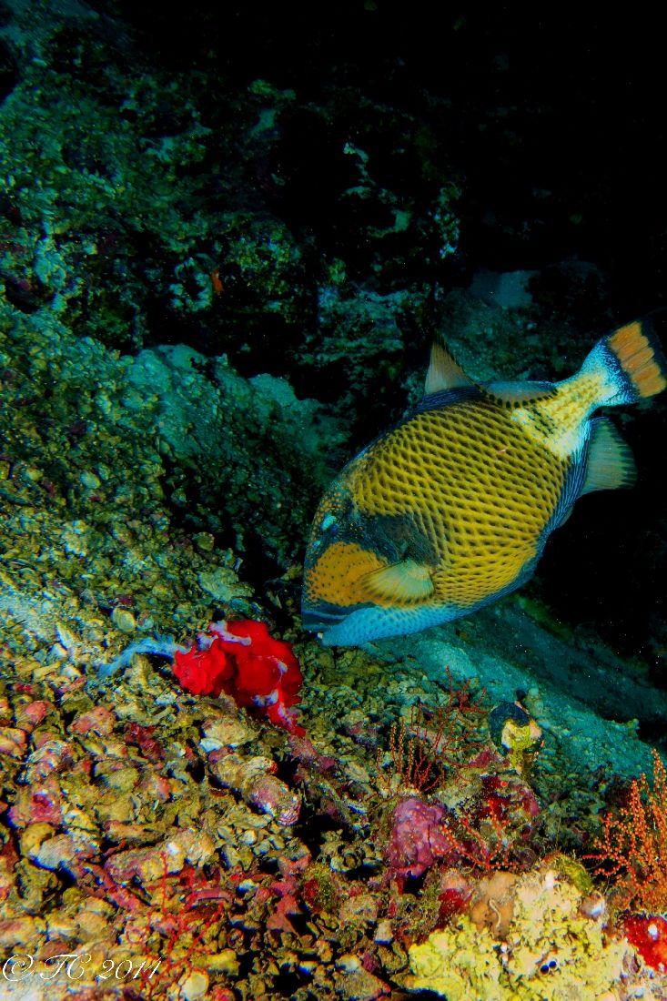 169 best fish balistidae triggerfish images on pinterest
