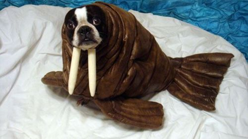 walrus puppy: Petcostumes, Dogs Costumes, Pets, Funny, Dogs Halloween Costumes, Pet Costumes, Boston Terriers, Walrus, Animal