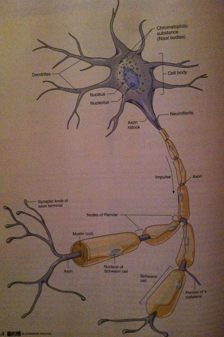 25 best synap images on pinterest nerve cells neurons and nervous structure of a neuron neurons have processes that receive information dendrites and send fandeluxe Image collections