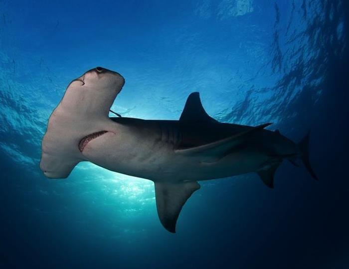 Tubarão Martelo (Sphyrna spp.), Ilhas Bimini. Fonte: Laura Rock