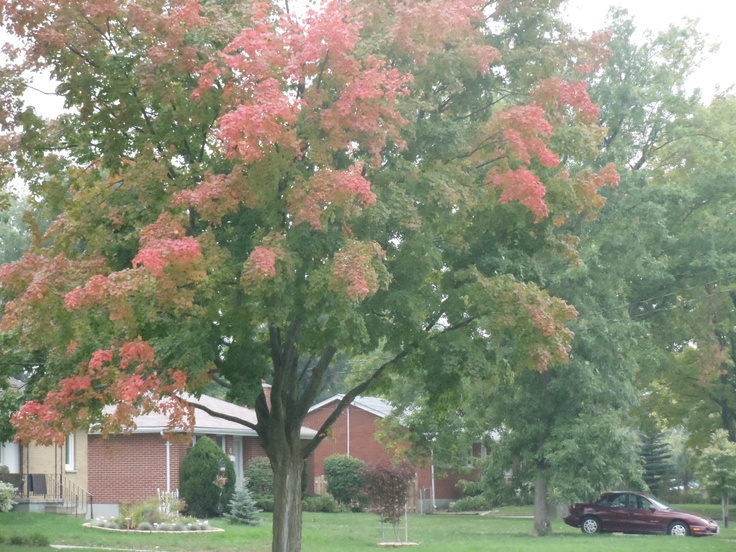 First tree on the street to begin changing colour.