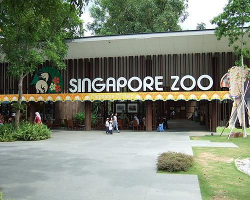 """Singapore Zoo - This is not your typical zoo! There were no glass """"cages"""" to keep you from the animals. I was able to look across a huge trench and lock eyes with a lion. Everyone was teasing how this lion would not keep its eye off me either - he must have wanted a snack!"""