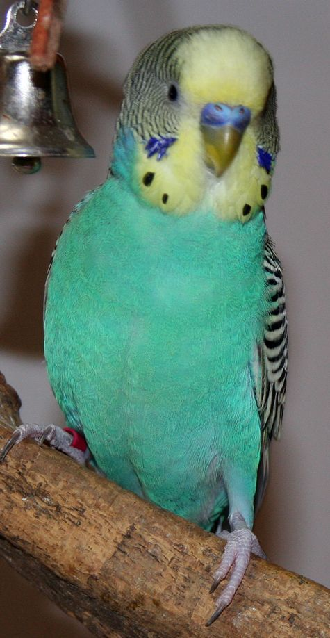 When I was growing up at home my parents had a green parakeet named \Tweetie Bird\. I would take him out of his cage sometimes. He would fly around the house and land on top of my head or my shoulder and I would walk around with him up there.